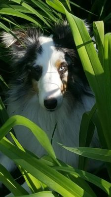 sheltie-in-grass