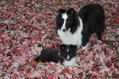 shelties-in-leaves