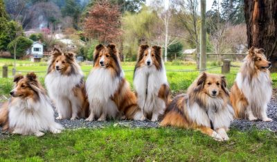 Australian Shelties