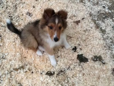 Sheltie puppy sitting