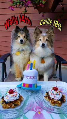 Shelties at birthday party