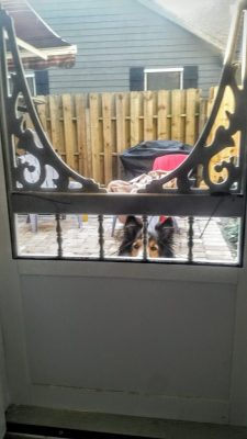 Sheltie at screen door