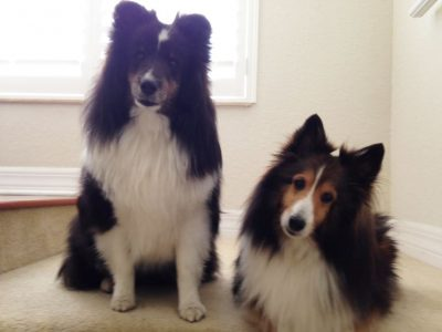 Shelties giving the look
