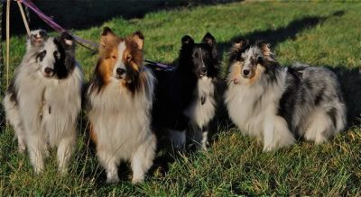 Shelties in multiple colors