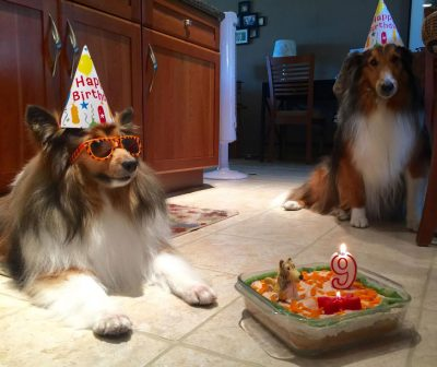 Shelties in birthday hats