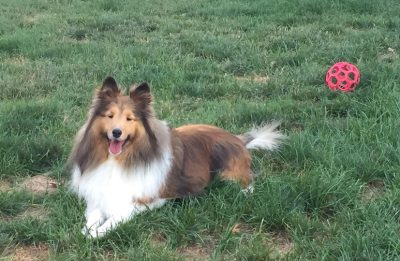 sheltie in grass with ball