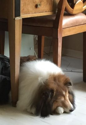 Sheltie sleeping under table