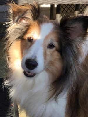 Sheltie in a sunbeam