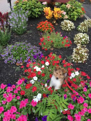 Sheltie puppy in flowers