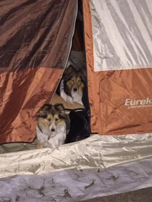 Shelties in a tent