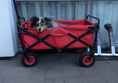 Sheltie in a wagon