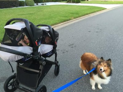 Sheltie guarding twins in stroller