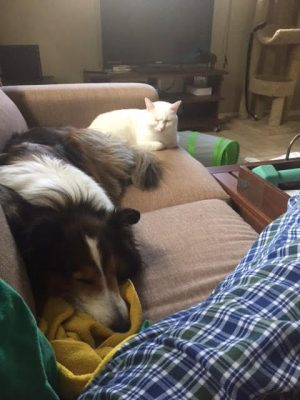 Sleeping Sheltie and cat