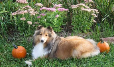 Sheltie with pumpkins