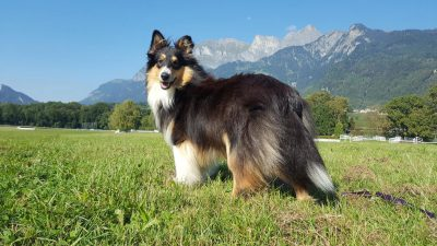 Sheltie in Switzerland