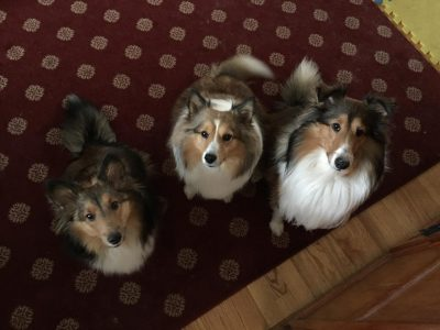 Three Shelties begging