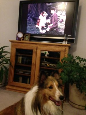 Sheltie with Lassie movie