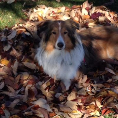 Sheltie in leaves