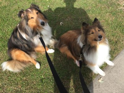 Shelties in human shadow