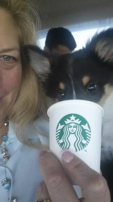 Sheltie having Starbucks