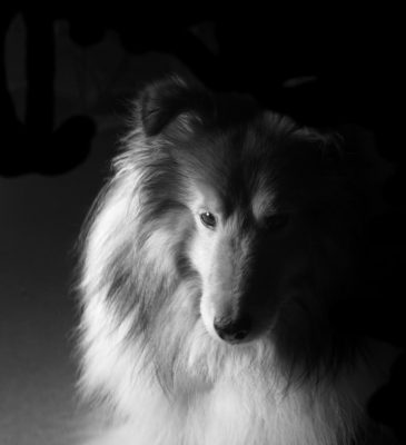 black and white sheltie photo