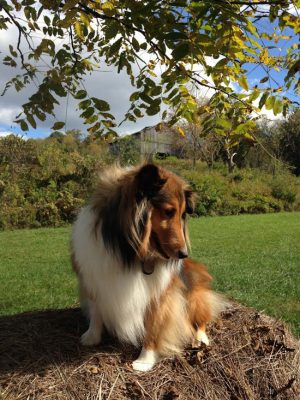 Sheltie in front of barn