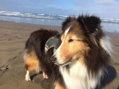 Sheltie on the beach