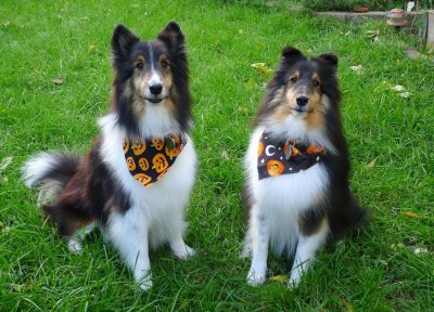 Shelties in halloween bandanas