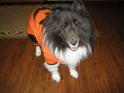 Sheltie in pumpkin costume