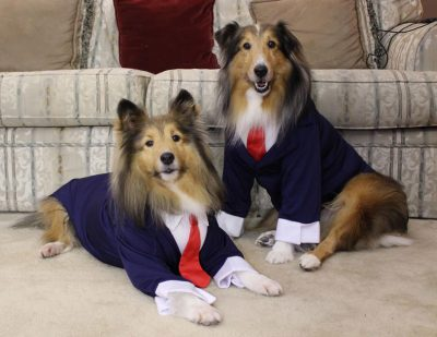Shelties in ties