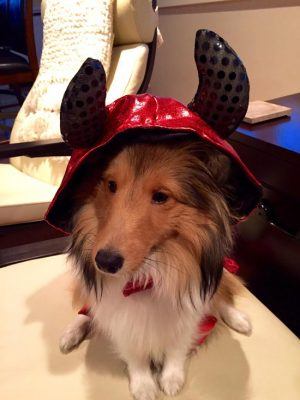 Sheltie in devil suit