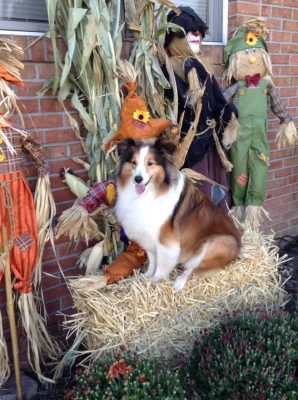 Sheltie with fall decorations