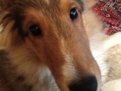 Sheltie eyes closeup