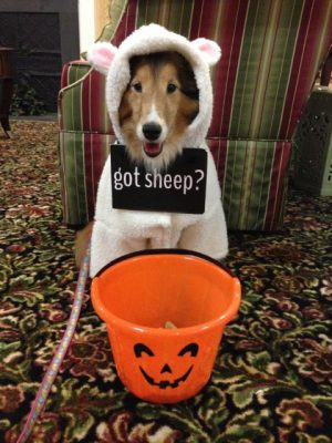 Sheltie in sheep costume