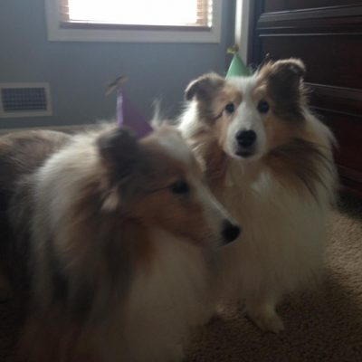 Shelties wearing birthday hats