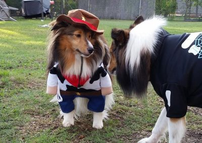 Sheltie in cowboy costume