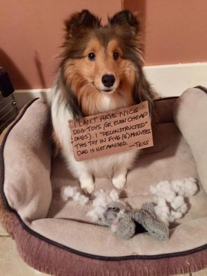 Sheltie and destroyed toy