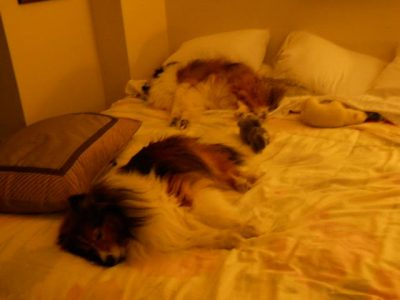 Shelties hogging bed