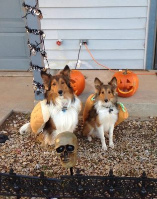 Shelties in costumes