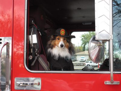 Sheltie in firetruck