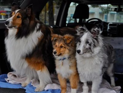 Shelties in back of car
