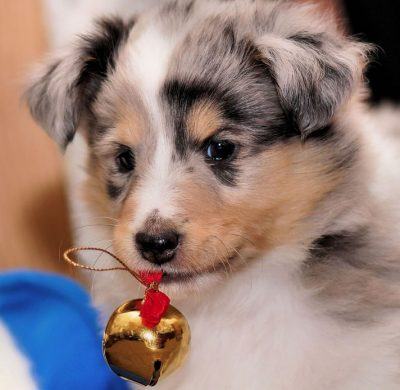 Sheltie puppy holding bell