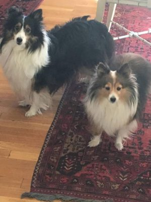 Shelties staring