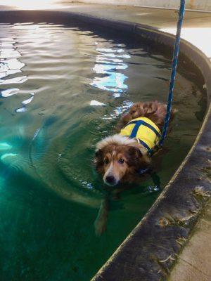 Sheltie swimming