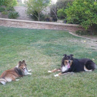 Shelties laying in yard