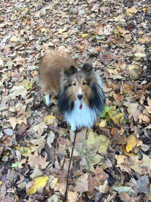 Sheltie in leaves
