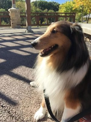 Sheltie in the park