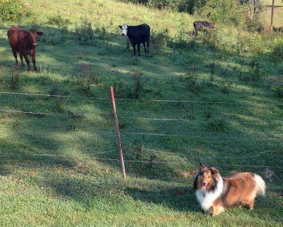 Sheltie with cows