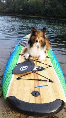 Sheltie on paddleboard