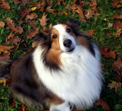 Sheltie in fall leaves